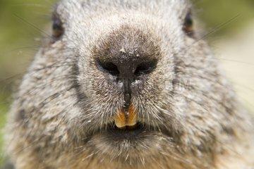 Portrait of Alpine Marmot - Ecrins NP Alps France