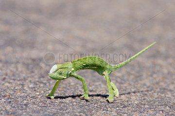 Flap-necked chameleon crossing a road - Kruger RSA