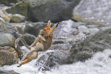 Golden Snub-nosed Monkey (Rhinopithecus roxellana) and young crossing a river  Qinling Mountains  Shaanxi province  China