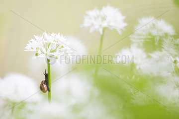 Garden snail (Helix aspersa aspersa) climbing on a Ramsons (Allium ursinum) flower  Alps  France