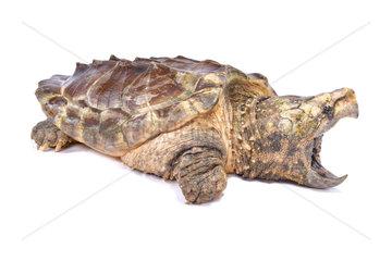 Alligator snapping turtle (Macrochelys temminckii) on white background