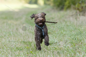 Lagotto Romagnolo running towards the camera with a branch  Alsace  France