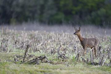 Roe deer (Capreolus capreolus) in a field of Maize (Zea mays) in spring  Menestreau-en-Villette  Loiret  Region Center Loire Valley  France