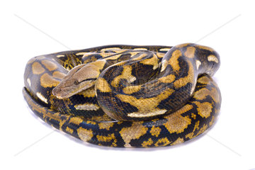 Reticulated python (Malayopython reticulatus) on white background