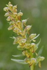 Frog Orchis (Dactylorhiza viridis) in bloom  Mercantour  Alps  France