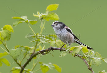 Long-tailed tit (Aegithalos caudatus) Tit perched on a bramble  Enland  Spring