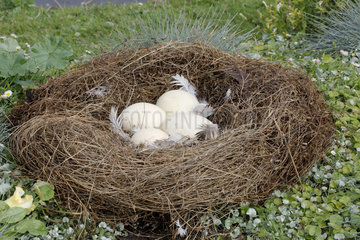 Nest with Four Eggs of Canada Goose (Branta canadensis) at the Parc Floral de Paris 12th  France