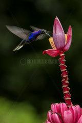 Violet sabrewing (Campylopterus hemileucurus)  male feeding on ornamental banana flower  Costa Rica