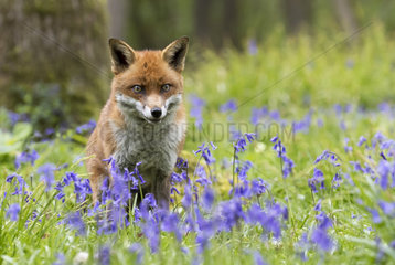 Red fox (Vulpes vulpes) Red fox amongst bluebell  England  Spring