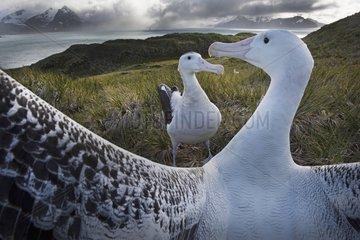 Wandering Albatross displaying - South Georgia