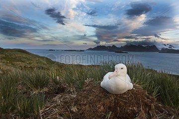 Wandering Albatross at nest incubation egg - South Georgia