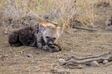 Young Spotted Hyena playing with a bone - South Africa