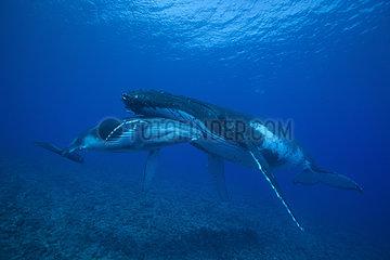 Humpback Whale (Megaptera novaeangliae) mother and calf sleeping in shallow tropical waters  Rurutu Island  Austral Islands  French Polynesia