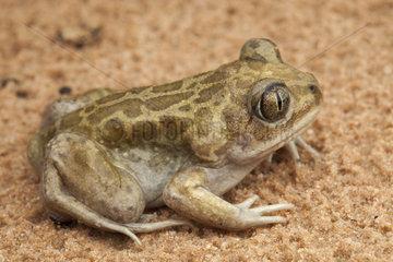 Moroccan Spadefoot Toad (Pelobates varaldii)  Morocco