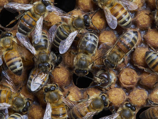 Honey bee (Apis mellifera) - The birth of drones in a brood surrounded by nurse bees. The drone is born 24 days after the egg is laid and it lives approximately 50 days. The drone is the only fertile depositary of the queen's genes. It is responsible for the transmission of the genes from the queen (its mother). Like all the bees  three days after the eggs have hatched the drone larvae are first fed royal jelly. Then  the nurse bees change the food to a mix of honey and pollen. Unlike the diet of the worker bee larvae  that of the drones includes more honey.