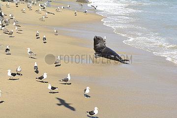 South American Sea Lion (Otaria flavescens) male on the beach  V Valparaiso Region  Chile