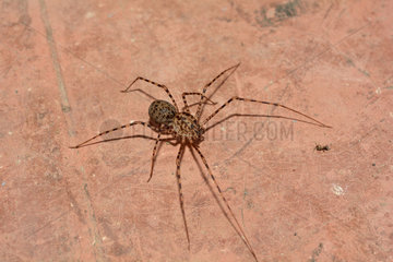 Chilean Tiger spider (Scytodes globula)  predator of Chilean recluse Spider  (Loxosceles laeta). Cobquecura - VIII Region of Biobío - Chile