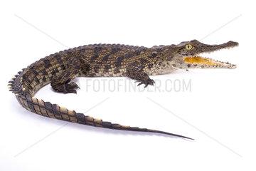 Nile crocodile (Crocodylus niloticus) on white background