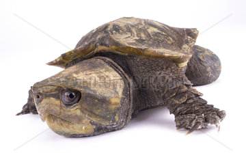 Big-headed turtle (Platysternon megacephalum) on white background