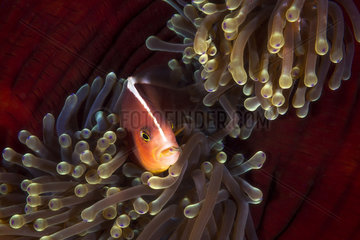 Skunk clownfish (Amphiprion akallopisos) in its anemone  Mayotte