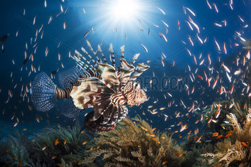 Lionfish (Pterois sp.) swimming above the reef  Moheli  Co Moros