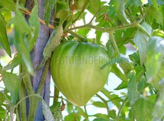 Tomato 'Coeur-de-boeuf' in the middle of the earth ripening  Dordogne  France