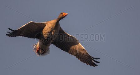 Greylag Goose (Anser anser) in flight  Delta de la Sauer Nature Reserve  Rhine Border  Munchhausen  Alsace  France