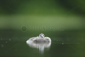 Young Great Crested Grebe ball on water - Alsace France