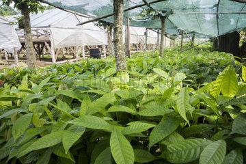 CECAB nursery and Cacao amelonado plantation grafting site  Organic Cocoa Production and Export Cooperative  Fair Trade  Manha Sol  Sao Tome and Principe Island