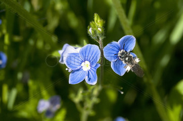Solitary Bee on Speedwell flower - France