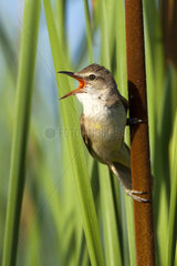Great Reed Warbler singing in reedbed - Spain