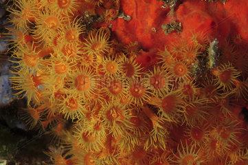 Yellow Encrusting Sea Anemone (Parazoanthus axinellae) on reef  Mediterranean Sea  French Riviera  France