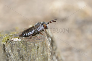 Leaf-cutting cuckoo bee (Coelioxys brevis) female sun bathing  Pays de Loire  France