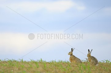 Two European Hares (Lepus europaeus) in a field at the end of the day. Hautevesnes  Picardy  France