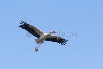 Flying white stork with nesting material  Hesse  Germany