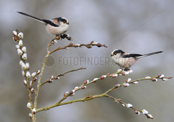 Long-tailed Tits on branch - Northern Vosges France