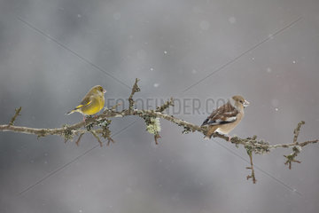 Hawfinch and Greenfinch in winter - Vosges France