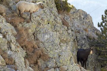 Ewbed sheep looking for the Chamois des Alpes (Rupicapra rupicapra)  Mercantour  Alpes  France