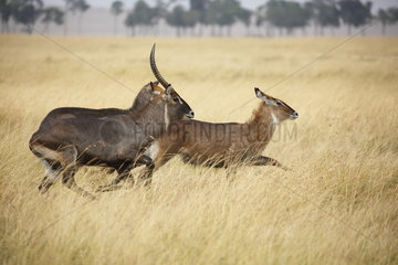 Waterbuck (Kobus ellipsiprymnus defassa)  Masaï Mara  Kenya