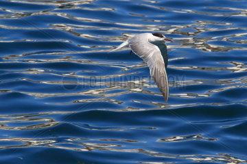 Common Tern (Sterna hirundo) in flight over the water  Azores  Portugal