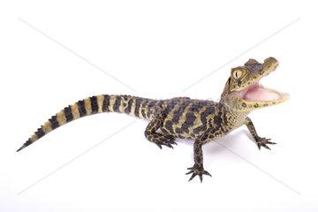 Broad-snouted caiman (Caiman latirostris) on white background