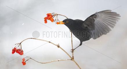 Blackbird (Turdus merula) male eating Mooseberry  Regional Natural Park of the Vosges du Nord  France