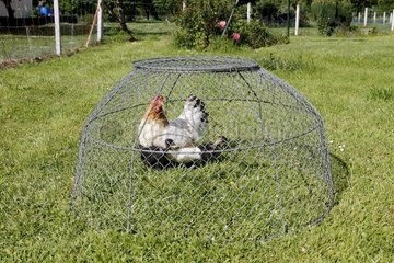 Hen and chicks under a grill bell to get used to living outdoors in Heurteauville  Normandy  France