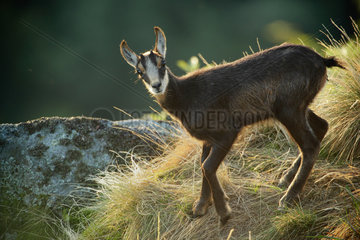 Young Alpine Chamois (Rupicapra rupicapra)  Vosges  France