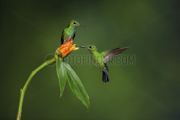 Green-crowned brilliant (Heliodoxa jacula)  females perched and feeding on flower  Costa Rica
