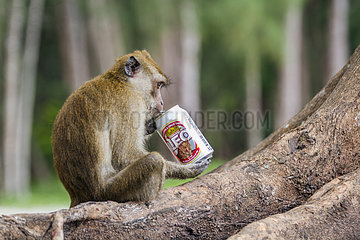 Crab-eating Macaque (Macaca fascicularis) intrigued by a can of beer  Hat Chao Mai national park  Thailand