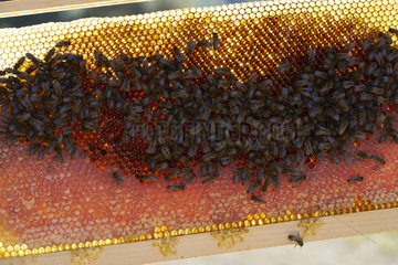 Black bees (Apis mellifera mellifera) on a honey frame in Corsica. There are six varieties of honey from Corsica: Printemps   Maquis de printemps   Miellat du maquis   Maquis d'ete   Chataigneraie and Maquis d'automne .