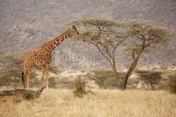 Reticulated giraffe (Giraffa c. reticulata)  Samburu  Kenya