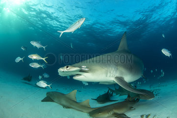 Great hammerhead shark (Sphyrna mokarran) swimming over a sandy seabed with some Nurse shark (Ginglymostoma cirratum)  South Bimini  Bahamas. The Bahamas National Shark Sanctuary  West Atlantic Ocean.