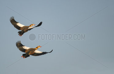 Egyptian geeses (Alopochen aegyptiacus) in flight  Sauer Delta Nature Reserve  Rhine Border  Munchhausen  Alsace  France